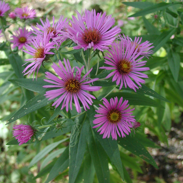 ASTER New England