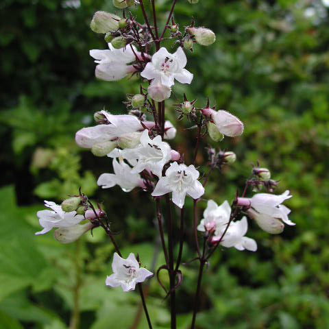 PENSTEMON digitalis Husker Red