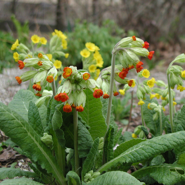 PRIMULA veris sunset shade