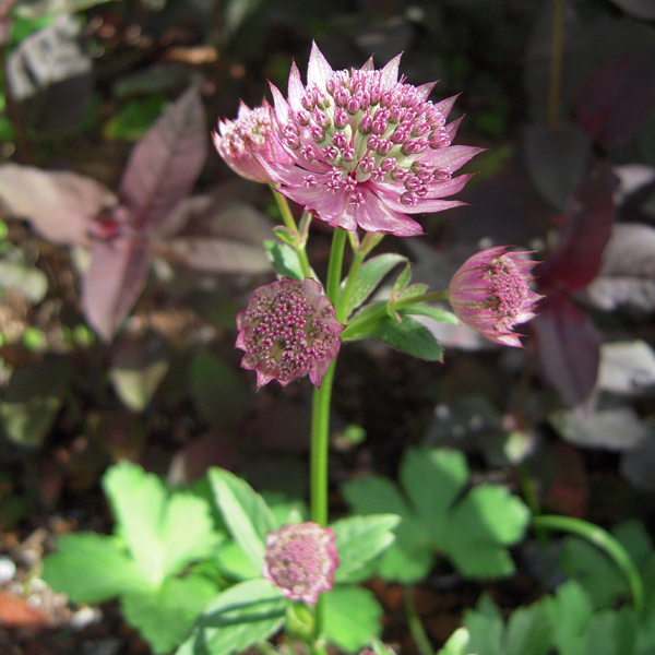 ASTRANTIA major hybrid  'Ruby Cloud'