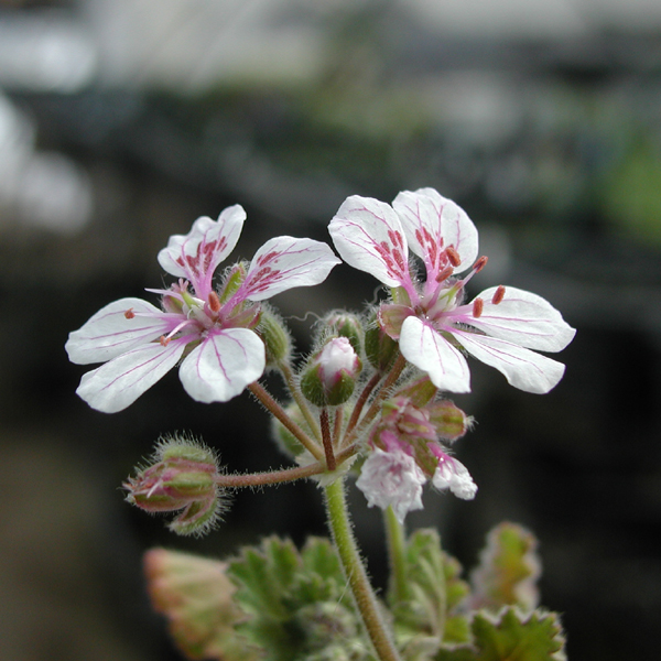 ERODIUM pelargioniforum