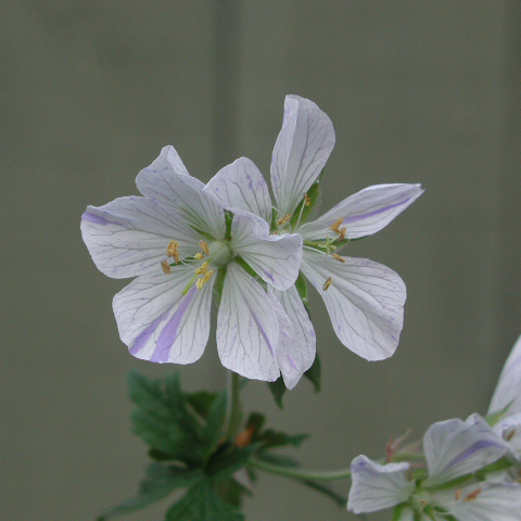 GERANIUM  pratense striatum 'Splish- Splash'
